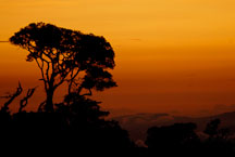 Silhouette of tree against an orange sky. Monteverde, Costa Rica. - Photo #14209