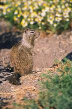 Squirrel. Palo Alto Baylands Nature Preserve, California - Photo #1209