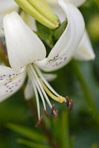 White Lily. - Photo #4309