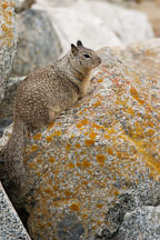 Beechey ground squirrel. 17-Mile drive, California, USA. - Photo #4790