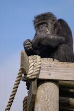 Chimpanzee, Pan troglodytes. - Photo #2491