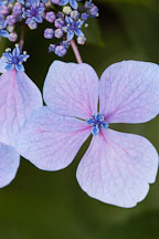 Hydrangea macrophylla - Photo #4291