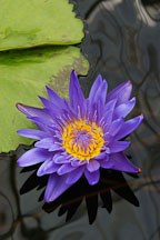 Victoria cruziana. Santa cruz water lily. - Photo #3492