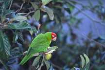 Cherry headed conure. Wild parrot of Telegraph hill. San Francisco, California. - Photo #1193