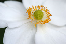 Close-up of Japanese windflower. Anemone X Hybrida, syn. A. hupehensis var. japonica. - Photo #1893