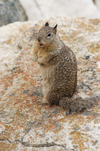 Beechey ground squirrel. Spermophilus beecheyi. 17-Mile drive, California, USA. - Photo #4793