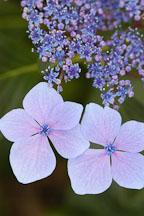 Hydrangea macrophylla - Photo #4293
