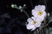 Japanese windflower. Anemone X Hybrida, syn. A. hupehensis var. japonica. - Photo #293