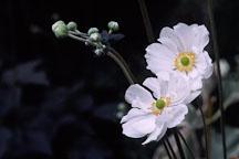 Japanese windflower. Anemone X Hybrida, syn. A. hupehensis var. japonica. - Photo #293
