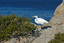 Great egret, Casmerodius albus. Monterey, California, USA. - Photo #5094