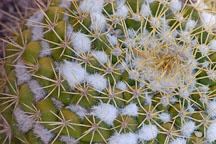 Mammillaria marksiana. - Photo #5294