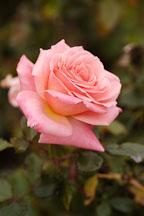 Rose, Bill Warriner. - Photo #4994