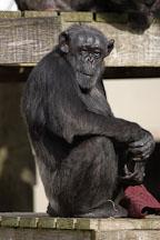 Chimpanzee, Pan troglodytes. - Photo #2495