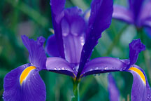 Dutch iris. Blue Magic. Iris xiphium X Iris tingitana. - Photo #895