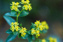 Euphorbia corallioides. - Photo #2095