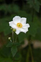 Japanese windflower. Anemone X Hybrida, syn. A. hupehensis var. japonica. - Photo #1895