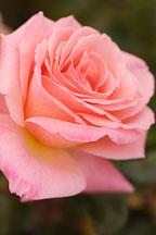 Rose, Bill Warriner. - Photo #4995