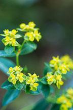 Euphorbia corallioides. - Photo #2096