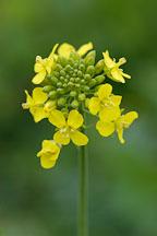 Brassica rapa, field mustard. Arastradero Preserve. Palo Alto, California, USA. - Photo #2896