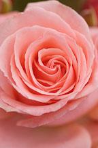 Rose, Bill Warriner. - Photo #4996