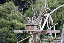 Ring tailed lemur. Lemur catta. San Francisco Zoo, California. - Photo #197