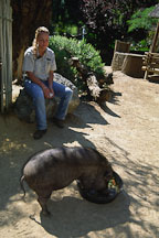 Feeding Vietnamese Pot-Bellied Pig (Sus scrofa domestica). Happy Hollow Zoo, San Jose, California, USA. - Photo #1298