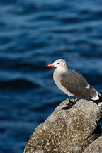 Heermann's gull. Monterey, California, USA. - Photo #5098