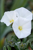 Convovulus cneorum. Bush Morning Glory. - Photo #3199