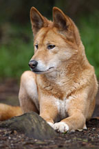 Dingo resting. Canis familiaris dingo. Australian wild dog. - Photo #1599