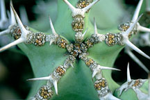 Euphorbia coerulescens. - Photo #99