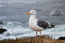 Western gull. Larus occidentalis. 17-Mile drive, California, USA. - Photo #4799