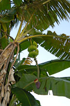 Banana tree on a farm in the Amazon. Peru. - Photo #8989