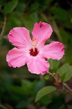 Hibiscus. Amazon, Peru. - Photo #8878