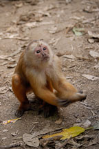 White faced Capuchin monkey. Rollin Island, Madre de Dios river, Amazon, Peru. - Photo #8965