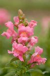 Pictures of Antirrhinum majus, Snapdragon