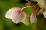Pictures of Helleborus