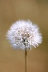 Pictures of Taraxacum officinale, Dandelion