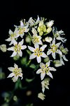 Pictures of Zigadenus fremontii, Common Star Lilly