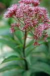 Pictures of Eupatorium