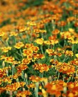 Pictures of Tagetes patula nana, Harlequin marigold