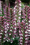Pictures of Acanthus