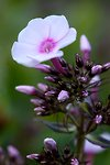 Pictures of Phlox