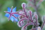 Pictures of Borago officinalis