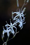 Pictures of Chlorogalum pomeridianum, Wavy-leaved soap plant