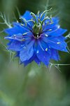 Pictures of Nigella
