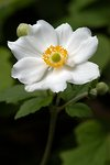 Pictures of Japanese Windflower