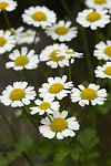 Pictures of Tanacetum, Feverfew