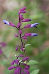 Pictures of Salvia