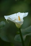 Pictures of Zantedeschia aethiopica, Calla Lillies