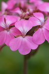 Pictures of Geraniums